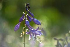 Blooming hosta. (agnieszka.a.morawska) Tags: bkhq garden beyondbokeh bokeh bokehlicious flower helios helios44m funkia hosta