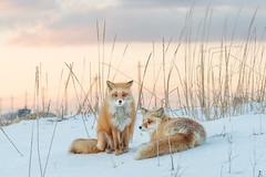 Red Foxes (BP Chua) Tags: japan hokkaido kushiro redfox fox pair canon 1dx sunset winter snow wild wildlife animal nature