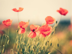 Coquelicot - Poppy #2 (@Kriss) Tags: poppy coquelicot kriss nature champ rouge orange