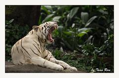 SHF_9005_White Tiger (Tuan Râu) Tags: 1dmarkiii 14mm 100mm 135mm 1d 1dx 2470mm 2018 50mm 70200mm canon canon1d canoneos1dmarkiii canoneos1dx zoo tiger singapore singaporezoo hổ ngáp vườnthú độngvật tuanrau tuan tuấnrâu2018 râu httpswwwfacebookcomrautuan71