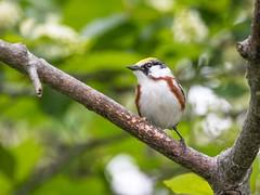 Chestnut-sided Warbler-7375 (Tunyobirds) Tags: birds chestnutsidedwarbler maine tremont unitedstates us