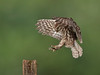 Little Owl  landing on post (roy rimmer) Tags: