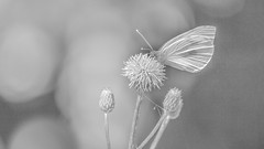 Mariposa blanca (Renate Bomm) Tags: 7dwf fe70300mmf4556goss renatebomm schmetterling sonyilce6000 pierisrapae bw hell highkey zitronenfalter gonepteryxrhamni tagfalter flügeladern flügelform drenthe butterfly mariposa papalota