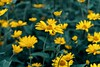 """""""Yellow Fever"""" (36D VIEW) Tags: flower flowers a7rii a7rm2 mirrorless sony helios 442 vintage legacy"""