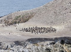 Colonial Nesting - Brandt's Cormorant (docentjoyce) Tags: brandtscormorant colonialnestingpointlobos birdingthecentralcoast birdislandtrail creativecommons wikimedia