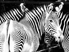 P6191609 (zullo_stefano) Tags: wildnature wild animal animals zoo zoosafarinaturaviva italy pastrengo olympus olympuse5 zuiko blackwhite blackandwhite nocolors
