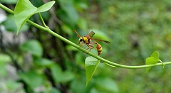 Potter Wasp - Female - on Ivy Plant - my Packyard (forest - 10M+ Views in 20 months ...) Tags: wasp insect tree trees bird rain spider macro potter female backyard potterwasp mybackyard sanctuary nationalpark reserveforest corbett bush flickr portrait rose fish animal tit tits lark europe belgium france netherlands finland poland amsterdam moscow england iceland outdoor outside bengal africa southafrica norway sweden germany denmark italy rome paris usa brazil canada newyork america california london madagascar himalayas