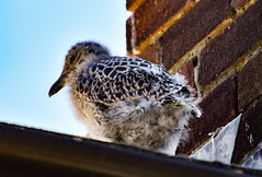 Broadstairs seagull chick of 2018 b (philbarnes4) Tags: seagull chick chicks house roof broadstairs thanet kent england bird birds
