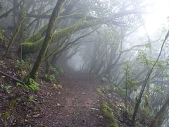 Garajonay Nemzeti Park köderdője (ossian71) Tags: spanyolország spain kanáriszigetek canaryislands lagomera gomera garajonay erdő forest laurisilva babérerdő köderdő köd fog természet nature tájkép landscape