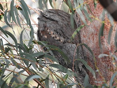 1st tawny of the afternoon (jeaniephelan) Tags: tawnyfrogmouth frogmouth bird nightjar