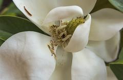 La flor del magnolio (Rosa Tomé) Tags: flor magnolia planta blanca