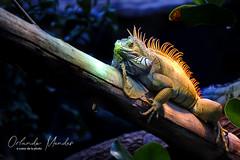 Iguane (o coeur de la photo) Tags: iguane zoo jungle paris vincennes couleurs couleur dragon