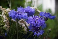 DSC08840 (Old Lenses New Camera) Tags: sony a7r olympus zuiko penf automacro macro 38mm f35 plants garden flowers wildflowers