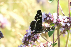 butterfly trail 01.07.2018 -p4d-0079 (event-photos4dreams (www.photos4dreams.com)) Tags: gersprenz münster hessen germany naturschutz nabu naturschutzgebiet photos4dreams p4d photos4dreamz nature river bach flus susannahvictoriavergau susannahvvergau eventphotos4dreams butterfly butterflies canoneos5dmarkiii schmetterling schmetterlinge