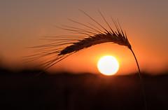 The Eye (andreasmally) Tags: harvest sunset nature natur sonnenuntergang sonne ernte deutschland germany landschaft landscabe makro