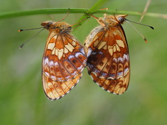 Alpen-Perlmuttfalter Boloria Thore (natur:büro) Tags: lepidoptera alpenperlmutterfalter boloria thore bergwaldperlmutterfalter