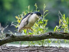 Un petit pas... (anniebevilacqua) Tags: oiseau bird oiseaudeau waterbird bihoreaugris blackcrownednightheron nycticoraxnycticorax faunemontréal montrealwildlife îledelavisitation