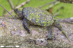 Young Snapping Turtle On A Log (freshairphoto) Tags: reptile snapping turtle log duckweed swamp canal towpath trail wildwood park lake harrisburg pa artspearing nikon d500 200500 zoom handheld