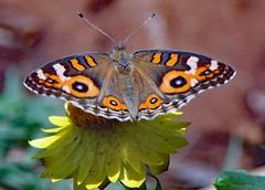 Butterfly (Uhlenhorst) Tags: 2017 australia australien animals tiere travel reisen