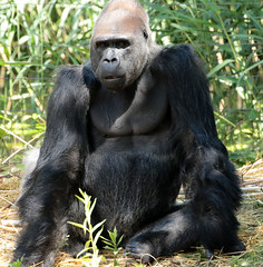 western lowlandgorilla Bao Bao Apenheul JN6A5130 (j.a.kok) Tags: gorilla westelijkelaaglandgorilla westernlowlandgorilla lowlandgorilla laaglandgorilla zilverrug silverback baobao animal africa afrika aap ape apenheul mammal monkey mensaap primate primaat zoogdier dier