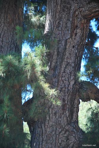 Найстаріша канарська сосна, Тенеріфе, Канари  InterNetri  09
