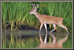 As close as you get (WanaM3) Tags: wanam3 nikon d7100 nikond7100 texas pasadena clearlakecity armandbayou bayou water reflection reeds outdoors nature wildlife canoeing paddling animal deer whitetaileddeer
