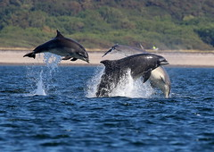Wild and Free (Ally.Kemp) Tags: moray firth dolphins dolphin breaching leaping triple breach scotland scottish chanonry point fortrose jumping wildlife wild free