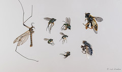 Dead animals in my house (4) (Rob Blanken) Tags: insects dead highkey