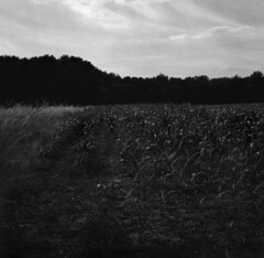 cornfield (salparadise666) Tags: zeiss ikon super ikonta b tessar 80mm fomapan 200160 caffenol cl 40min nils volkmer nature bw black white monochrome rural vintage folding 6x6 square landscape ield farm medium format