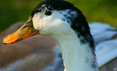nice profile (Kens images) Tags: ducks nature feathers colours ponds close up macro focus composition