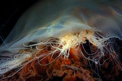 ScotlandWest-201708-LochLeven-Slates1-25-Cnidarian-Jellyfish-LionsMane-Macro-CyaneaSp (Tony J Gilbert) Tags: lochleven theslates ballachulish scotland scubadiving marine diving marinefish nikond300 60mmlens 105mmlens underwater underwaterphotography travel travelogue scottishtravel scottishscubadiving scottishlandscapes scottishwildlife