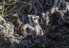 Do I pose well? (Marco van Beek) Tags: lemur catta monkey holland europe beautiful world nikon d5000 afs dx nikkor 18200mm f3556g ed vr ii