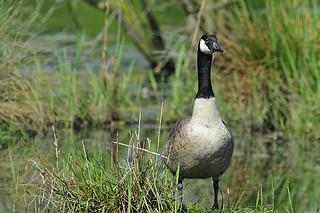 Kanadagans / Canada goose