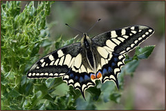 Swallowtail Butterfly (image 1 of 2) (Full Moon Images) Tags: rspb strumpshaw fen wildlife nature reserve insect macro swallowtail butterfly