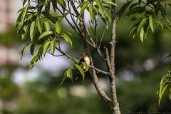 20180708-0I7A8794 (siddharthx) Tags: 7dmkii bird birdwatching birding birdsinthewild bishanangmokiopark canon canon7dmkii ef100400f4556isii ef100400mmf4556lisiiusm nature singapore singaporeparks trek urbanbirds urbangreens sg whitethroatedkingfisher whitebreastedkingfisher kingfisher