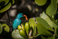Saí-azul (macho) - Dacnis cayana - Blue Dacnis (male) (Eden Fontes) Tags: riodejaneiro bluedacnis aves saíazul jbrj dacniscayana jb clúsia rj clusiafluminensis jardimbotânico birds