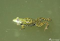 Le Prince de Lili 😂 (jean-daniel david) Tags: nature réservenaturelle vert closeup grosplan yverdonlesbains suisse suisseromande vaud eau batracien grenouille reflet nage
