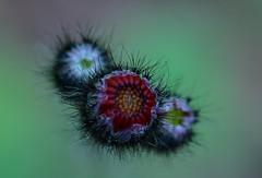 (nano782) Tags: bokeh macro flowers manualfocus ais 55mmf28 nikond7000 nikon micronikkor