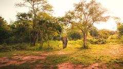 Safari (dkphotographs) Tags: safari jungle srilanka nature animal elephants elephant sun tree animalportrait asia babyelephant asianelephant landscape sonyalpha6000 wildlife
