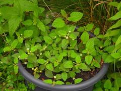 Süßkraut (Sophia-Fatima) Tags: mygarden meingarten naturgarten gardening gemüsegarten küchengarten veggarden herbs kräuter gewürze süskraut