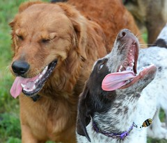 A Laugh Between Friends (Explore) (rabidscottsman) Tags: scotthendersonphotography dog goldenretriever animal pet mn minnesota northfieldminnesota babcockpark nikon nikond7100 d7100 nikkor nikkor70200f28vrii dogpark sunday weekend explore exploreminnesota
