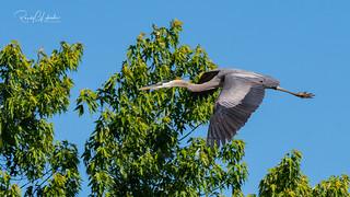 Great Blue Heron - Ardea herodias | 2018 - 1 [EXPLORED]