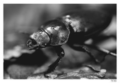 Stag beetle (Aljaž Anžič Tuna) Tags: stag beetle insect nature animal macro photo365 project365 portraitunlimited onephotoaday onceaday 365 35mm 365challenge 365project nikond800 nikkor nice naturallight nikon nikon105mmf28 105mmf28 f28 forest bw d d800 dailyphoto day blackandwhite black white blackwhite beautiful