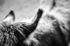 Esels Ohr (chipsmitmayo) Tags: minolta xd7 adox cms 20 adotech selbstentwickelt film analog schwarzweiss blackandwhite frankenhof reken tierpark münsterland westfalen tiere animals zoo