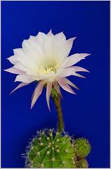 - cactus flower - (Jac Hardyy) Tags: cactus flower kaktus kaktee kakteen cactaceae blossom blossoms bloom blooms flowers white weis kronblatt kronblätter blüte blüten blütenblatt blütenblätter kakteenblüte kaktusblüte petal petals staubblätter staubblatt stamen stamens stigma narbe