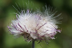 Fluffy faded thistle (janrs7) Tags: fluffy faded thistle flower wildflower tamron70300mmmacro macro closeup bokeh