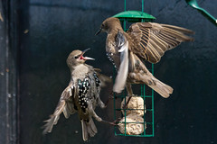 Starling Fight (Jon Pinder) Tags: canon eos7d 70300mm starlings flight birds feathers flying feeder wings animal