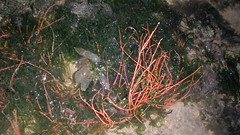 Skinny sea fan (Astrogorgia sp.) (wildsingapore) Tags: pulau sekudu eggs cnidaria gorgonacea island singapore marine intertidal shore seashore marinelife nature wildlife underwater wildsingapore