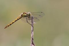 Sympetrum Striolatum (Visual Stripes) Tags: dragonfly odonata sympetrum macro canoneos7d sigma150mm sigma14teleconverter handheld nois cloudy