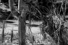 Haunted Forest: Sonoran Desert (jswensen2012) Tags: gnarled desert sonorandesert arizona cactus saguarocactus ironwoodtree organpipecactusnationalmonument